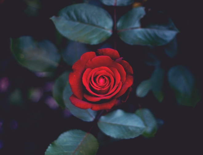 enchanted red rose